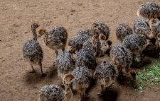 Poussins d'autruche sains et oeufs à vendre