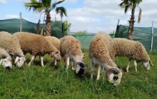 mouton ferme bio 2020/1441 أضحية عيد أضحى كبش حولي