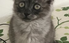 Chat angora gris smoky