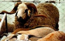 Mouton ferme biologique benslimane (kebch/kharouf/aid al adha/fête/mouton)